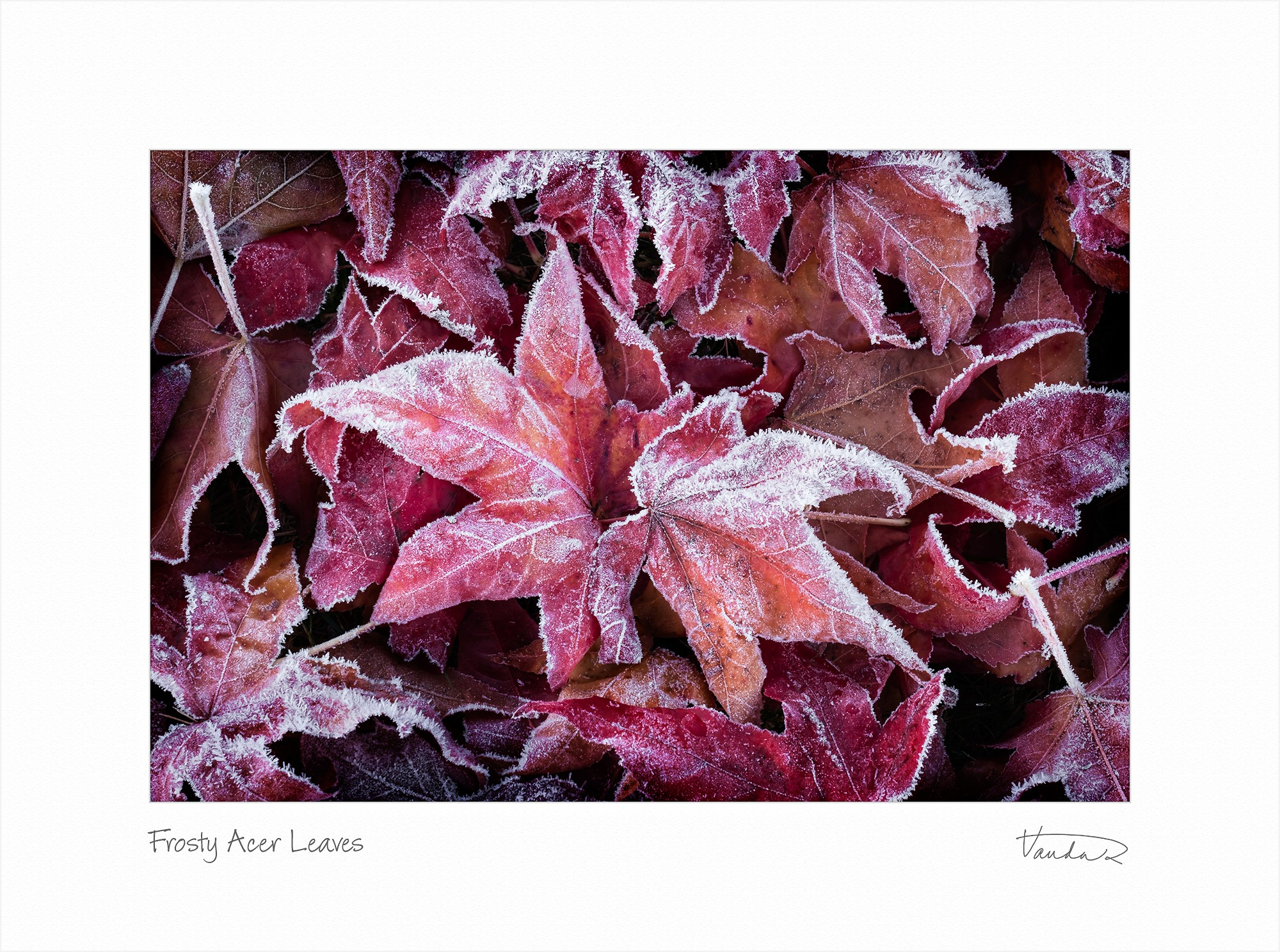 Frosty Acer Leaves
