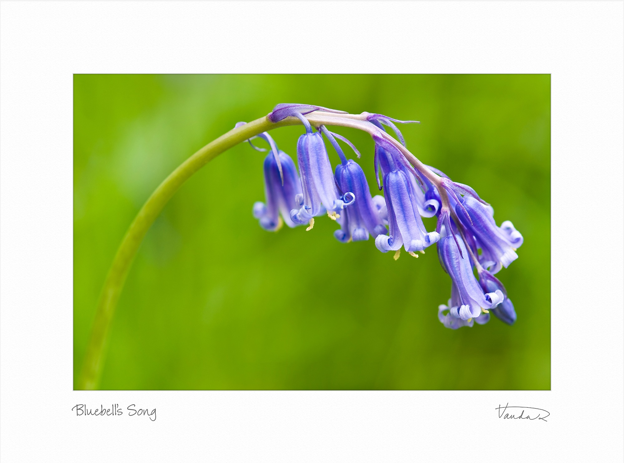 Bluebell's Song