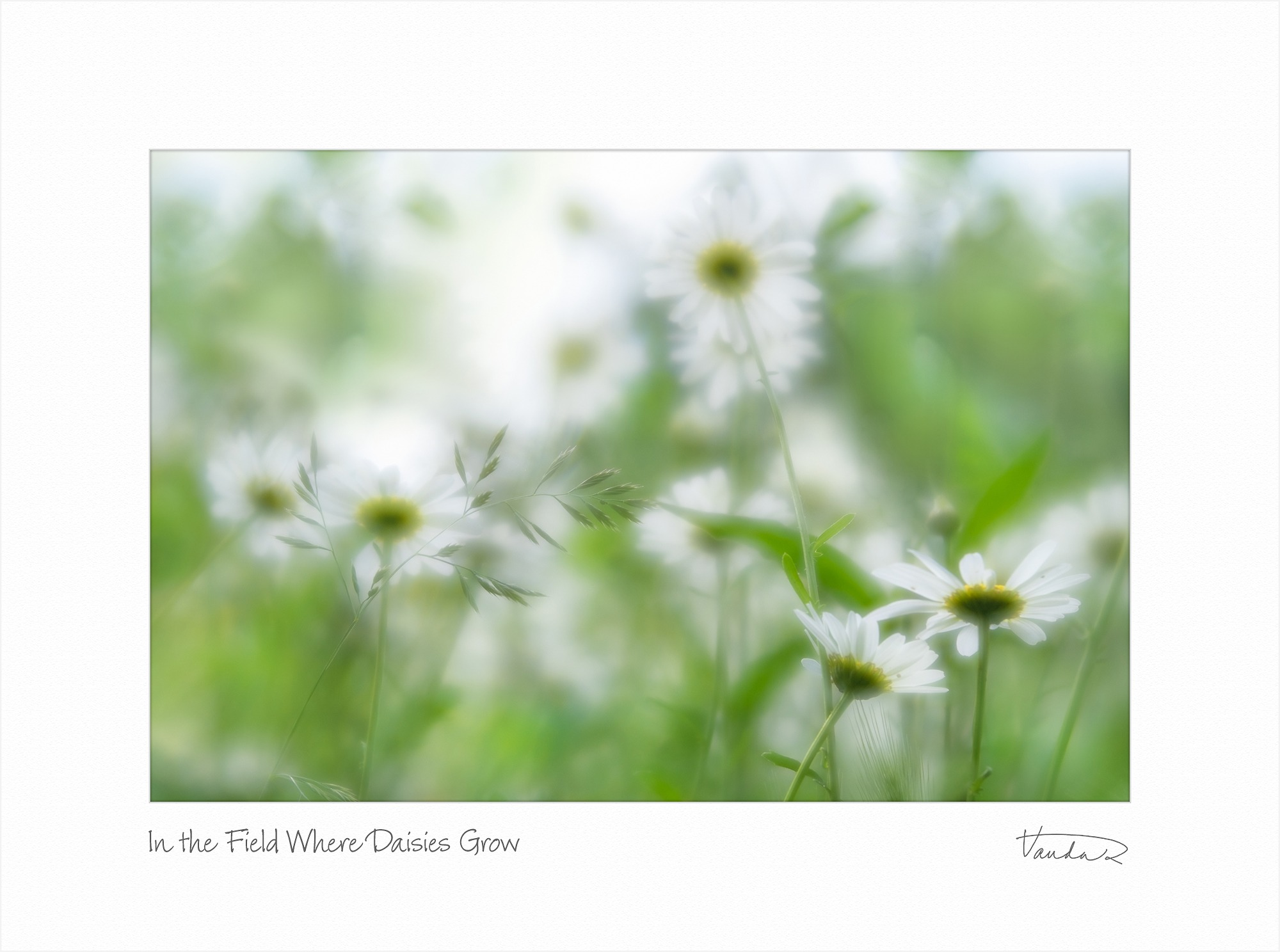 In the Field Where Daisies Grow