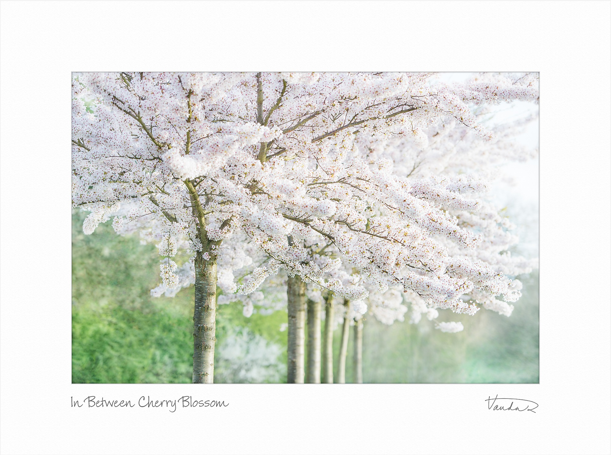 In Between Cherry Blossom