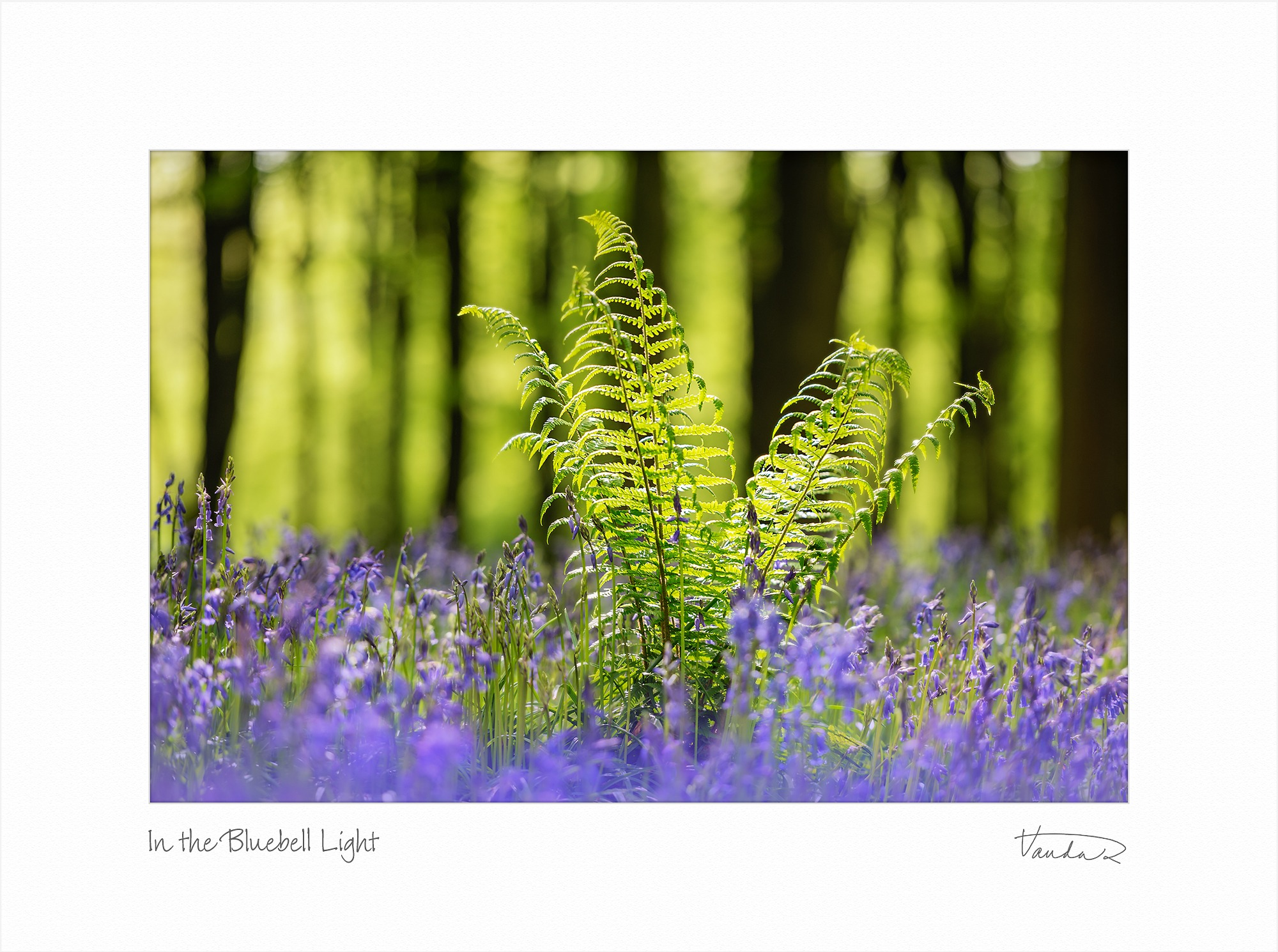 In the Bluebell Light