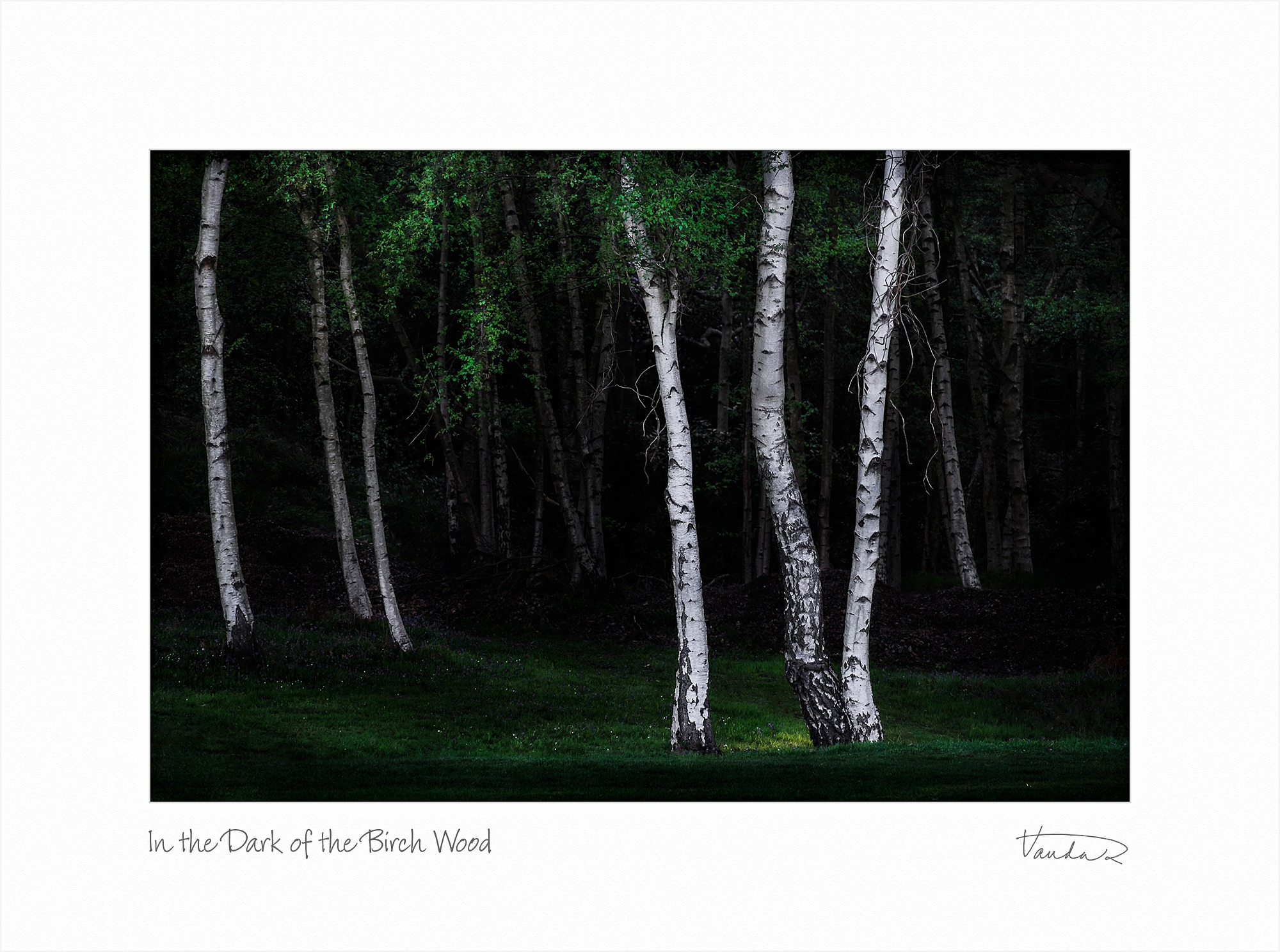 In the Dark of the Birch Wood
